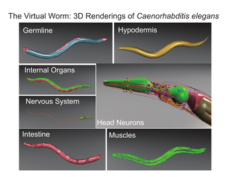 W23: The Virtual Worm: 3D Renderings of Caenorhabditis elegans